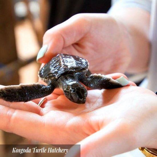 Kosgoda Turtle Hatchery